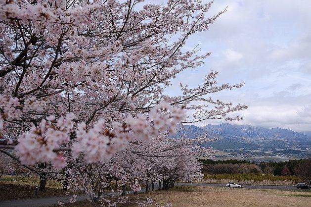 アスペクタの桜