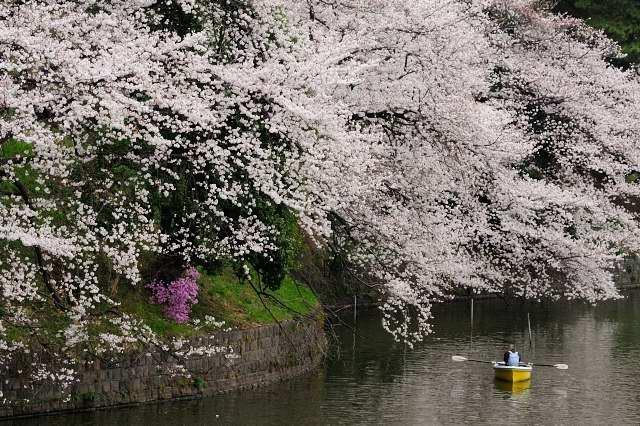 千鳥ヶ淵縁道の桜