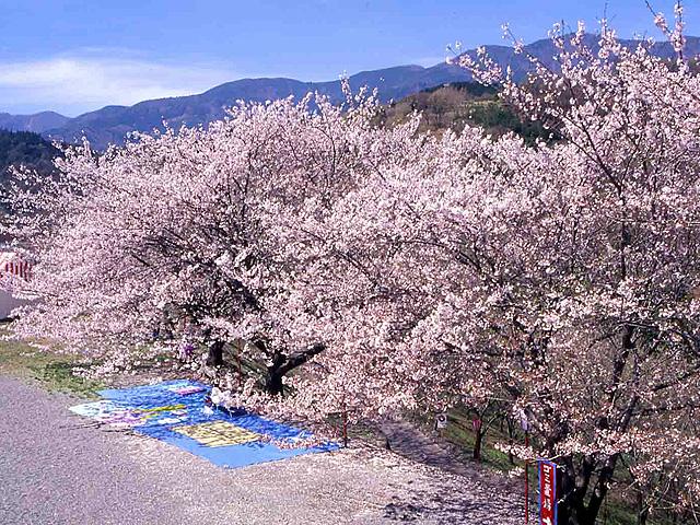 富士山吉田口登山道中ノ茶屋エリアの桜