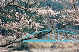 市房ダムの桜