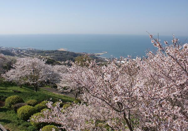 竜王山公園の桜