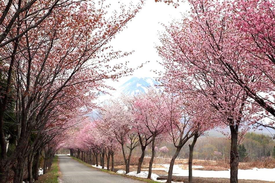 岩木山の世界一長い桜並木
