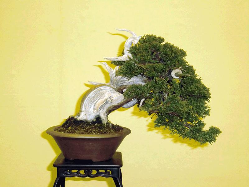 漆畑大雅さんの盆栽